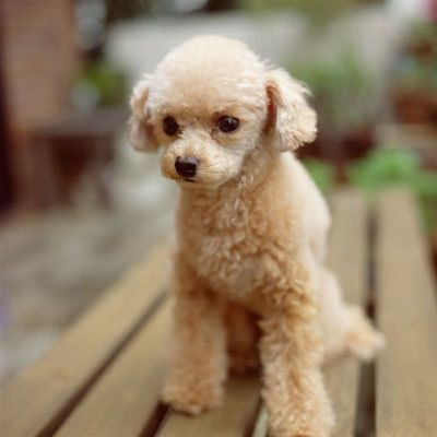 Baby Tan Poodle Poodle Cute Dogs Dogs