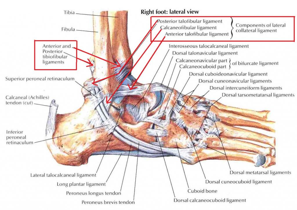 Sprained Ankle Anatomy Human Anatomy Diagram Ankle Anatomy Sprained Ankle Muscle Diagram