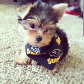 Pin By Jeromebettisgrille36 On Steelers Pet Yorkshire Terrier Yorkie Steelers Country
