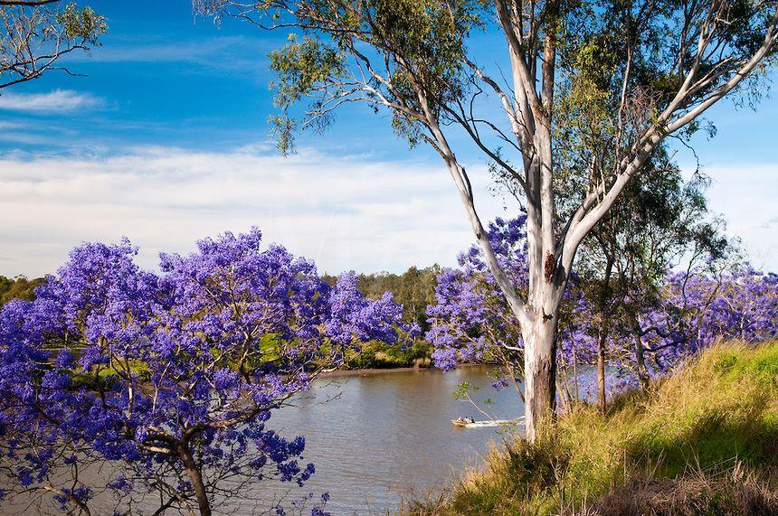Flowering Jacaranda trees along Brisbane River, Richardson Park, Brisbane Tce., Goodna, Qld., Australia
