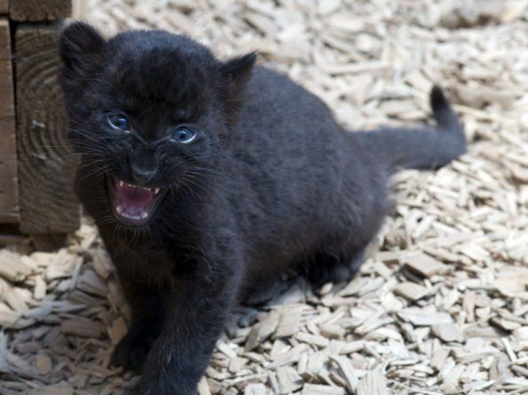 Baby Black Panther With Images Baby Panther Panther Cat Cats