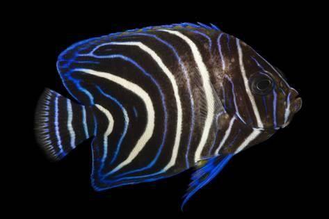 A Koran Angelfish Pomacanthus Semicirculatus At Pure Aquariums Photographic Print Joel Sartore Art Com Angel Fish Ocean Creatures Colorful Fish