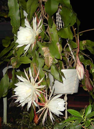 Epiphyllum Oxypetalum Balcon Et Terrasse Pinterest