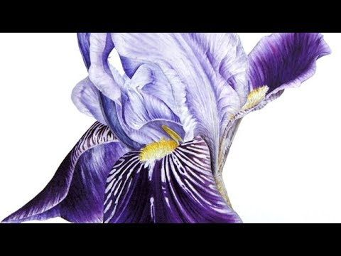 Painting A Velvety Deep Purple Iris In Watercolor Jarnie Godwin