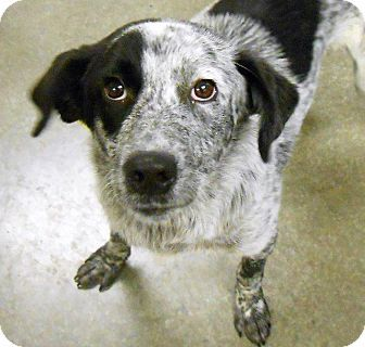 Pictures Of Juliet A Australian Cattle Dog For Adoption In Lancaster Pa Who Needs A Loving Home Cattle Dog Dogs Australian Cattle Dog