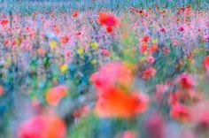 Bunte Mohnblumenwiese Bilder Foto Bilder Blumen Aquarell
