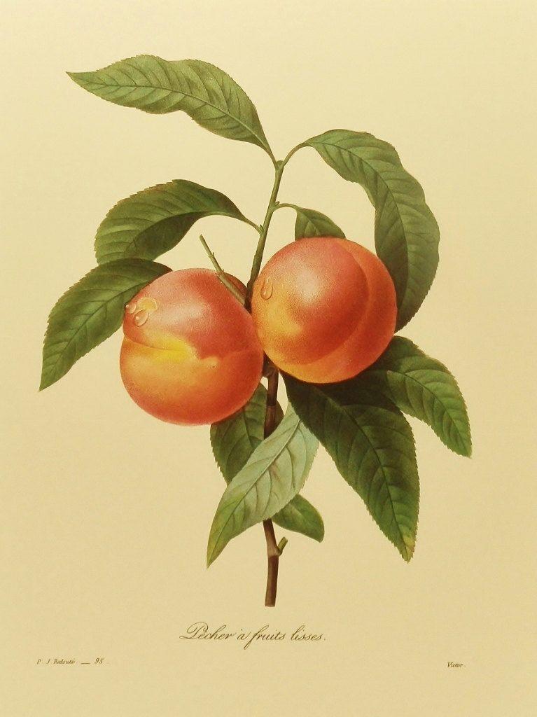 French Country Botanical Print (Kitchen Art, Fruit Wall Decor ...
