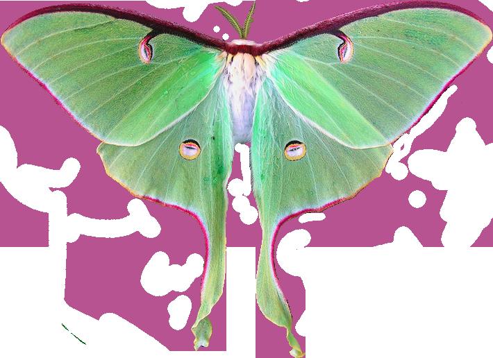 Transparent Flowers Luna Moth Luna Moth Transparent Flowers Moth