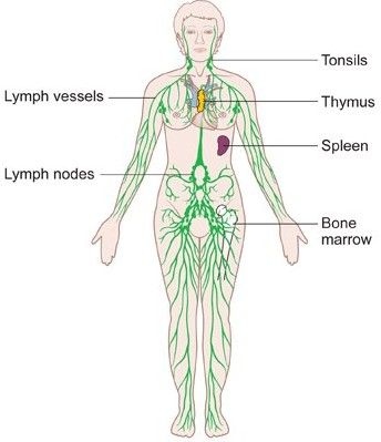 Diagram Of The Female Lymphatic System Lymphatic System Lymph Massage Lymphatic