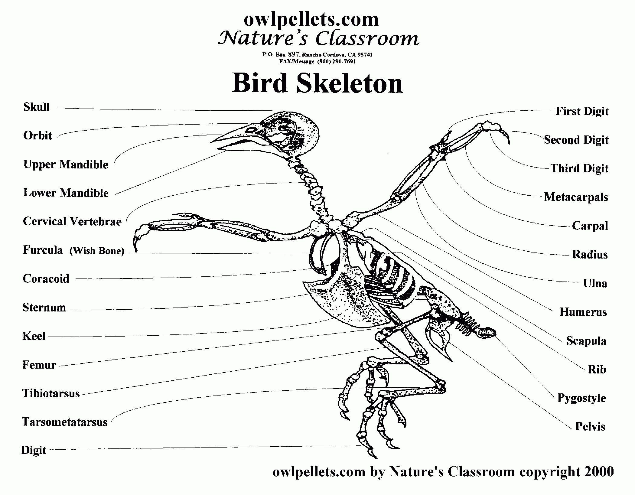 Bird Skeleton Anatomy Bird Bone Anatomy Bird Skeleton