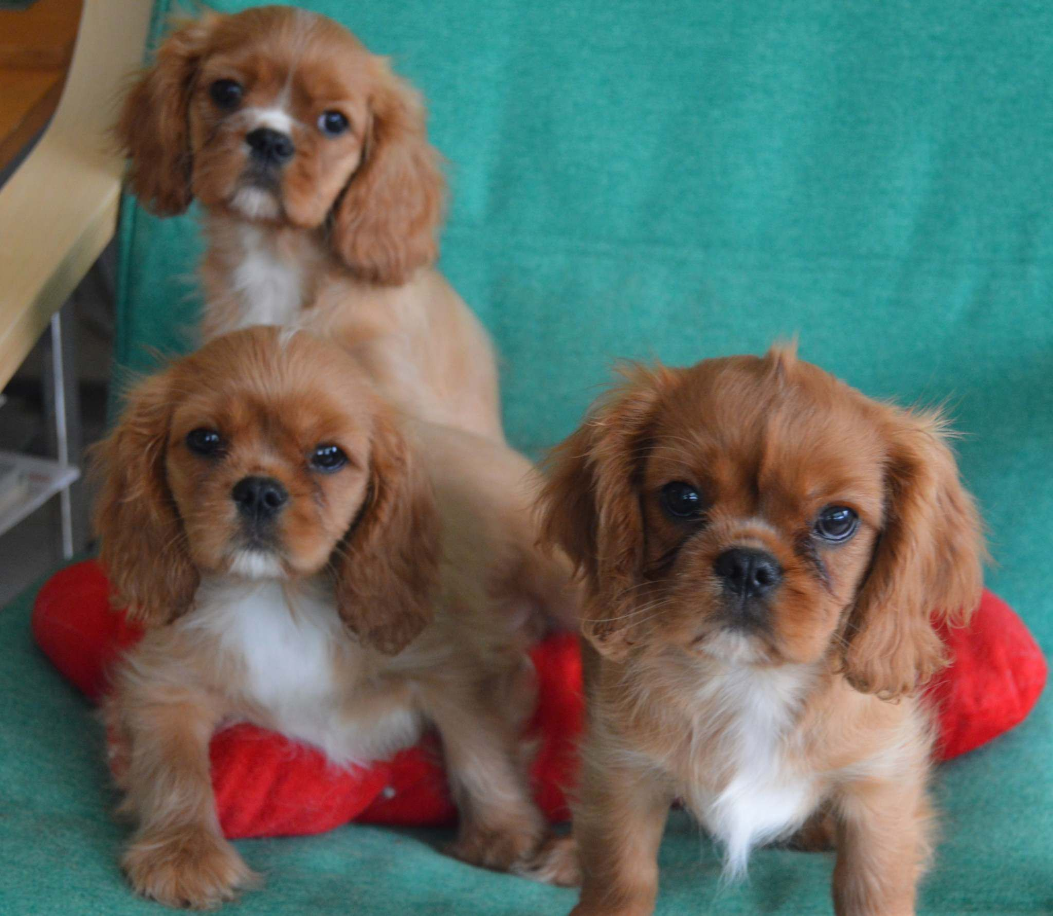 Valentina Schuler The Snowbird Family Lacanina Cavaliers Has Cavalier King In 2020 King Charles Cavalier Spaniel Puppy Spaniel Puppies For Sale Cavalier King Spaniel