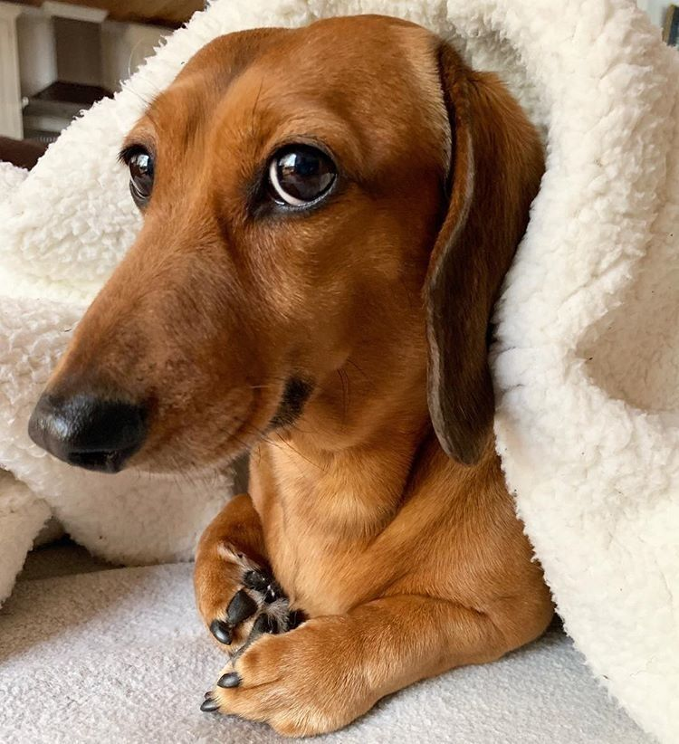 Cute Dachshund Cute Dachshund Dogs Cute Dachshunds Cute Dogs