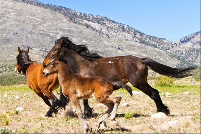 """The horses are protected through Federal legislation that was enacted through the hard work of a Reno woman named Velma Johnston, dubbed """"Wild Horse Annie"""" by her fans. Her efforts to lobby congress led to laws that have prevented the extinction of the wild horse herds. The horse herds near the Virginia Range have come to be known as """"Annie's Horses."""""""