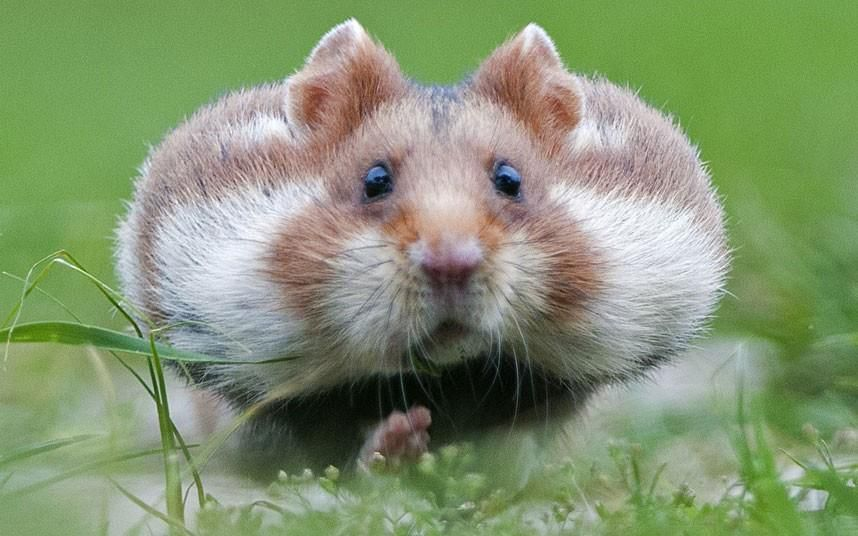 This cheeky chappie is an increasingly rare sight in the wild. The European Hamster was spotted transporting food in its bulging cheek pouches at a cemetery in Vienna. They are considered to be critically endangered in some European countries because they are considered to be farmland pests and are widely trapped for their fur.  via Animal story