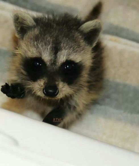 My dad saved a baby raccoon just like this one.He was very young!!
