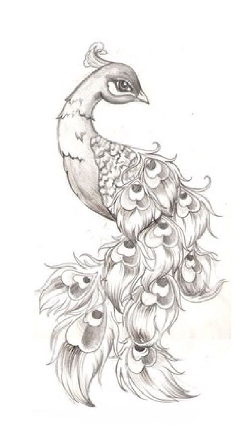 Drawling of a peacock