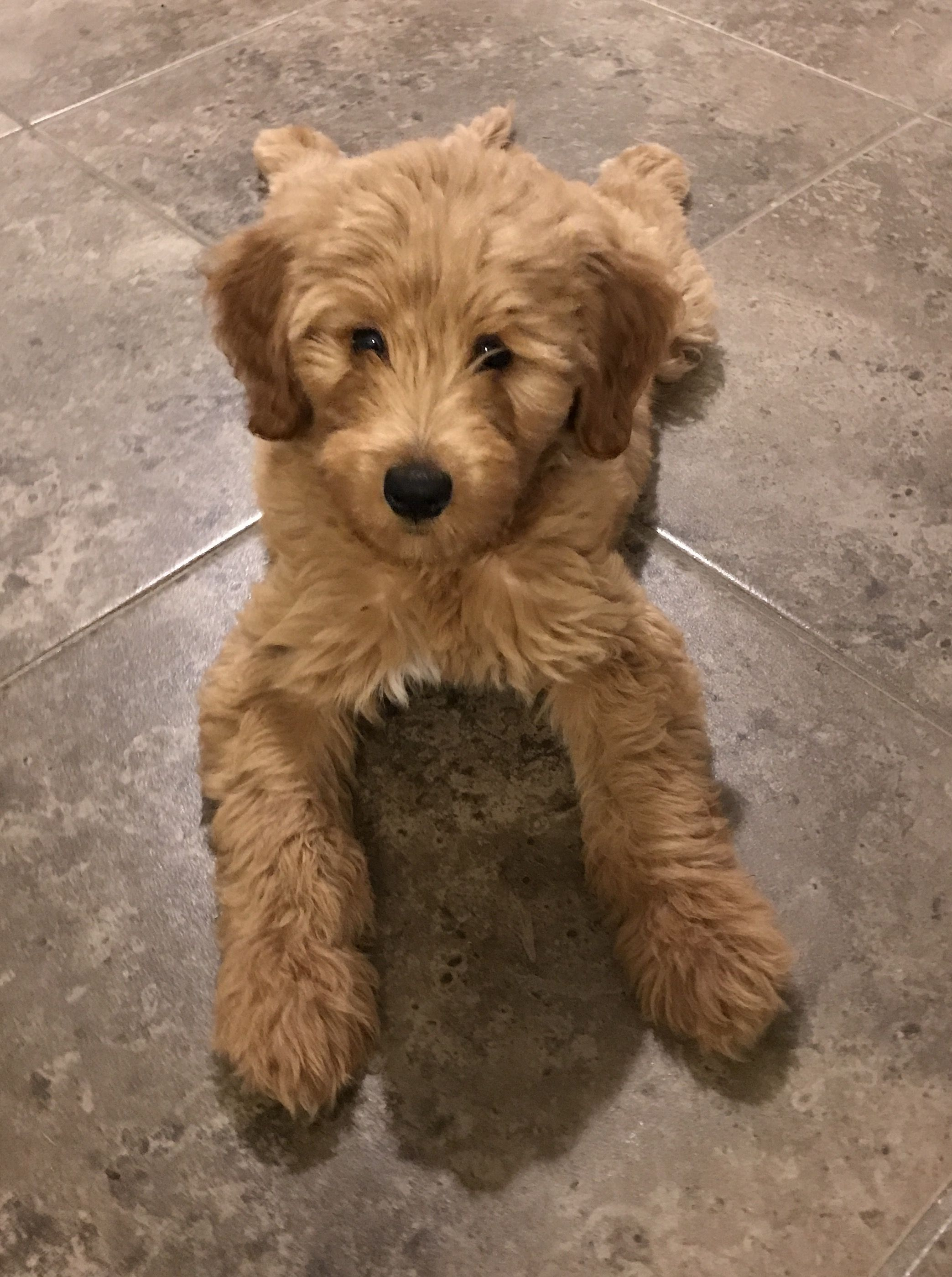 F1b medium Goldendoodle Fluffy dogs, Goldendoodle puppy