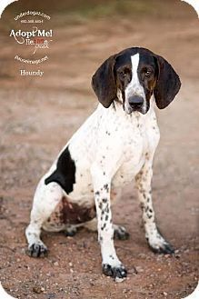Pointer Coonhound Mix Google Search With Images Pets