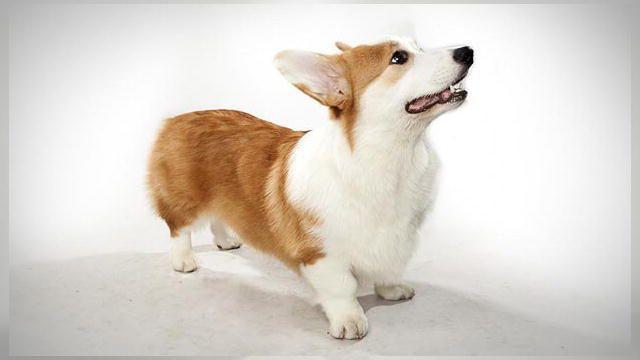 Pembroke Welsh Corgi Dogs 101 Animal Planet Dog Breeds