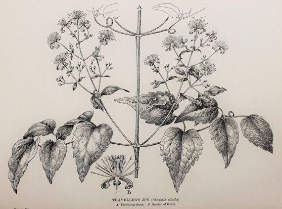 Vintage botanical print by c newall travellers joy clematis leaves flowers seeds monochrome or black and white engraving