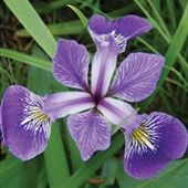 Blue Flag Iris Native Michigan Plants For Wetter Conditions Tip Of The Mitt Watershed Council Iris Flowers Flower Photos Winter Plants