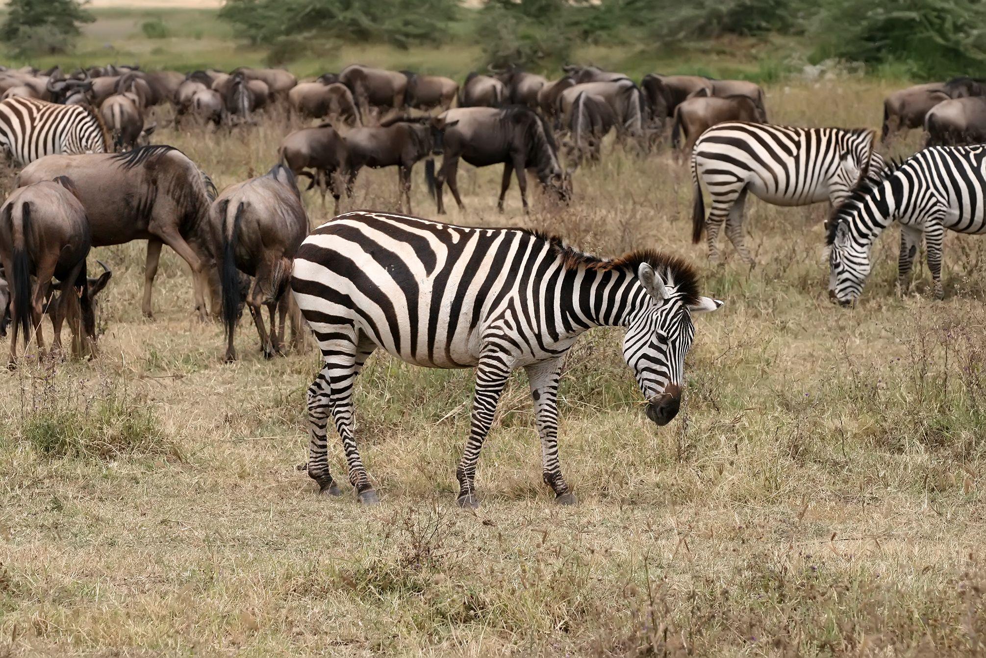 Zebras and wildebeests | File:Zebras and wildebeests, Ngorongoro.jpg - Wikipedia, the free ...