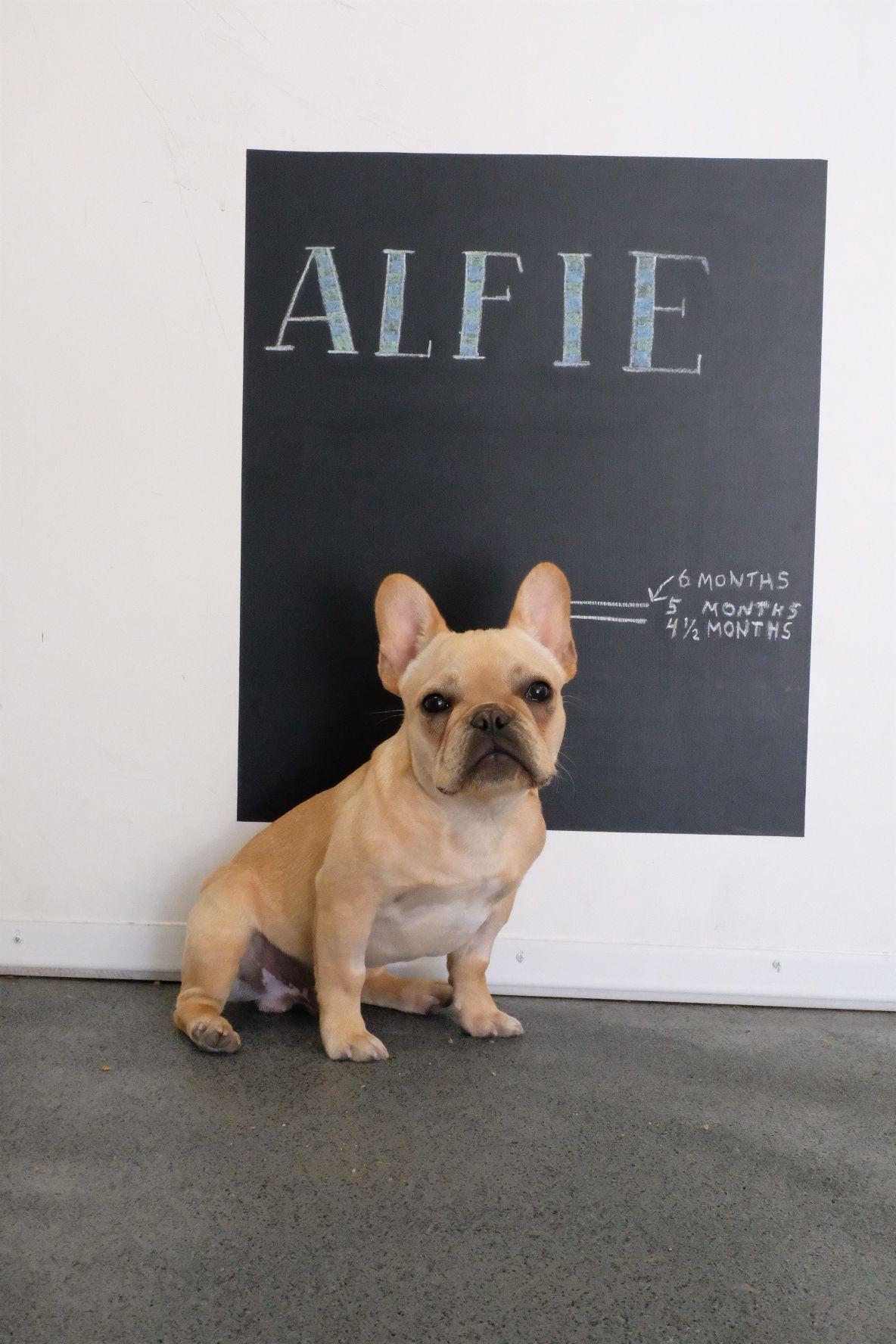 Alfie The French Bulldog Puppy French Bulldog Bulldog French