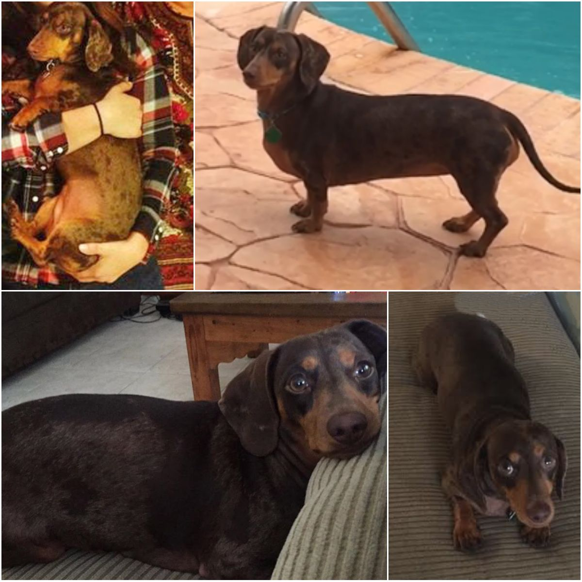 Back Home Dog Dachshund Miami, FL, United States 33173