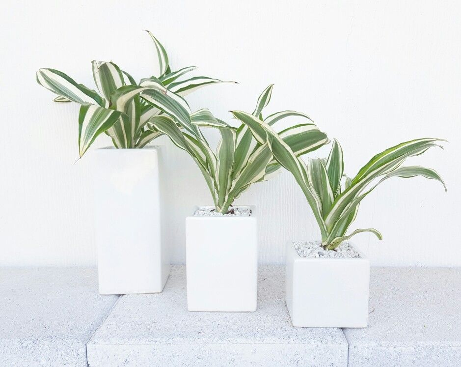 contemporary house plants. #dracena #houseplant #modern | p.v.