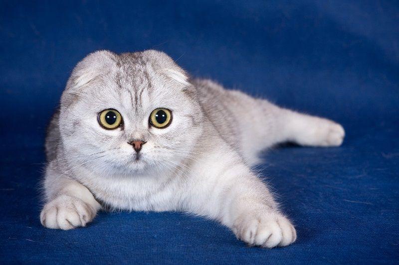 фото кошка вислоухая