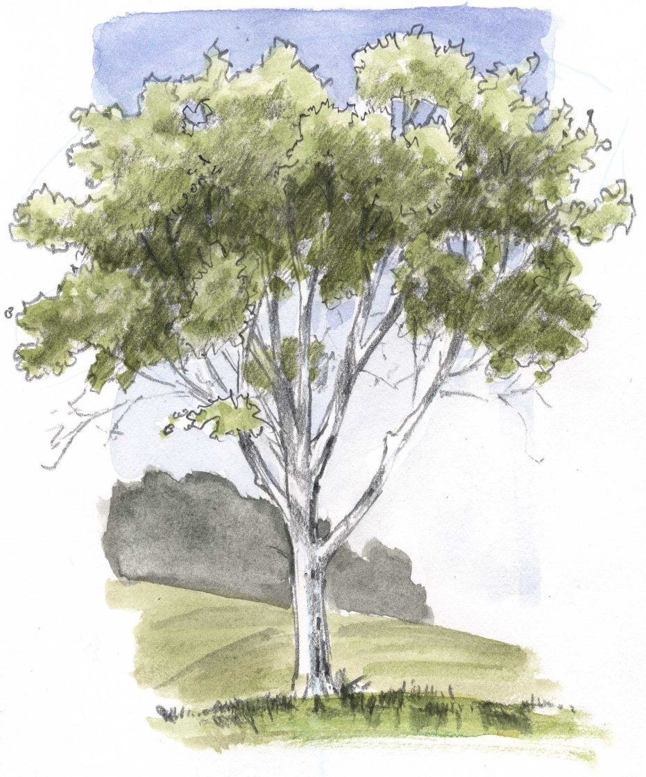 How To Draw Trees Oaks Tree Drawing Tree Sketches Landscape Sketch