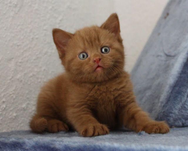 Britisch Kurzhaar Bkh Kitten Und Britisch Langhaar Katzenbabys Bkh Kater Kitten In Cinnamon Abzug Kittens Cutest British Shorthair Kittens British Shorthair