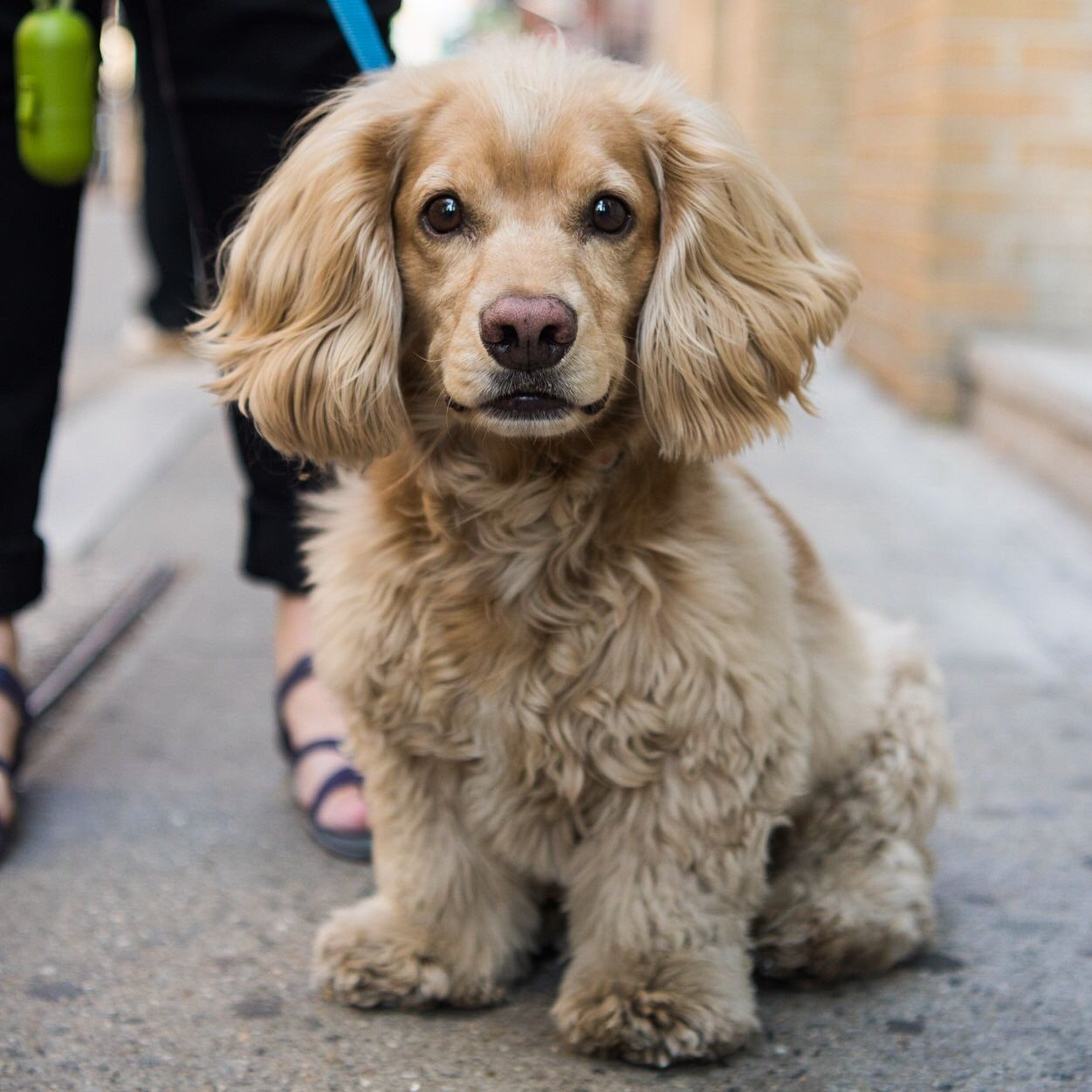 Barry Cocker Spaniel Dachshund Mix 5 Y O Prince West Broadway New York Ny He Can Be Aggressive Da Unusual Dog Breeds Cocker Spaniel Dachshund Mix