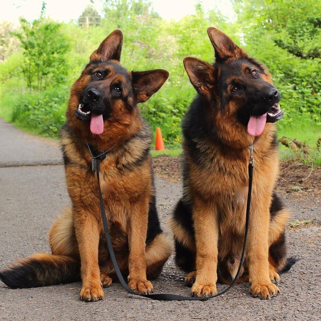Image result for German Shepherd dog, cute