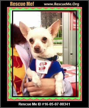 Ohio Chihuahua Rescue Adoptions Rescueme Org Chihuahua