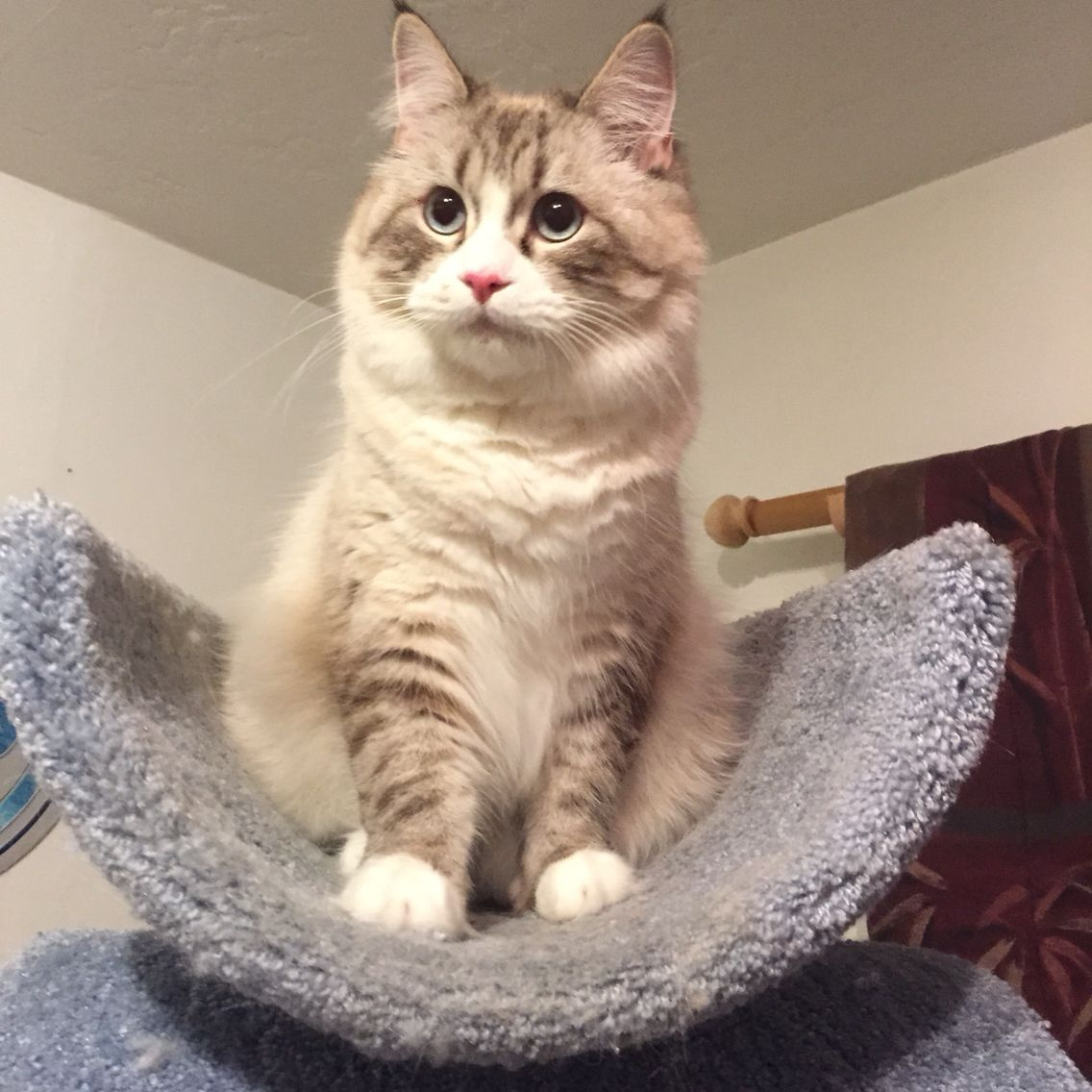 Almost 1 year old! American bobtail, Cute pictures, Ragdoll