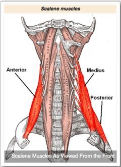 Cervical Spine Muscles All three muscl...
