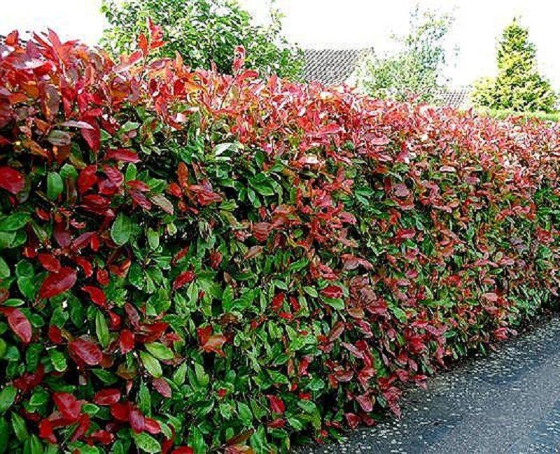 Photinia red robin plantas para setos altos cercos - Setos para vallas ...