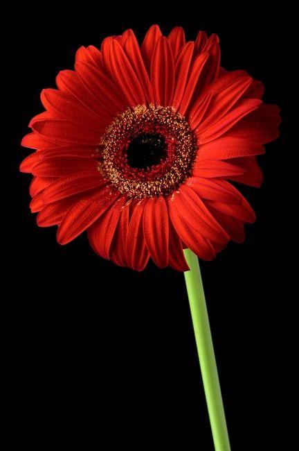 Red Gerber Daisy Flower On Black Background By Morgan Howarth Gerbera Daisy Gerbera Daisy Seeds Gerbera