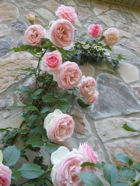 Eden Climbing Rose With Images Climbing Roses Pink Garden