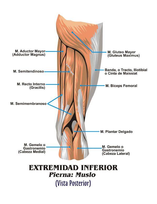 Músculos pierna detras | Anatomía Piernas | Pinterest | Músculos ...