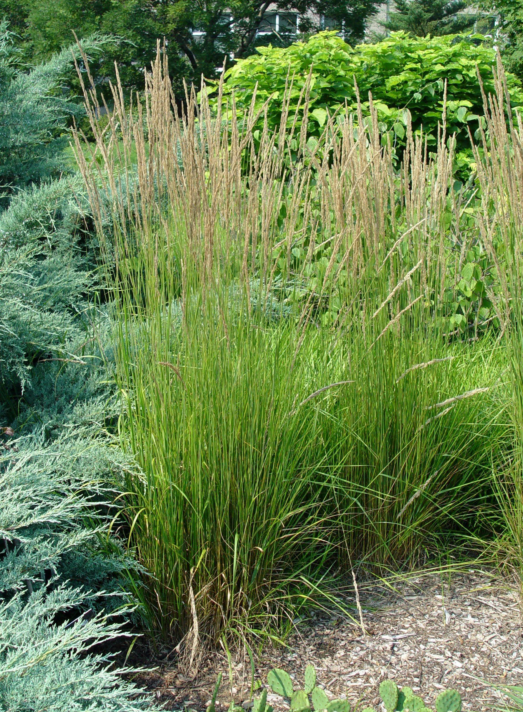 Feather Reed Grass Karl Foerster Garden Housecalls Feather Reed Grass Ornamental Grasses Grass