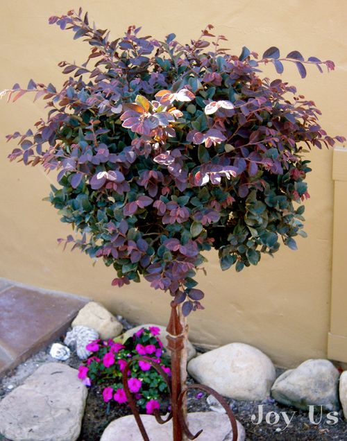 Loropetalum Patio Tree   Substitution For The Little John Azalea Patio Tree.