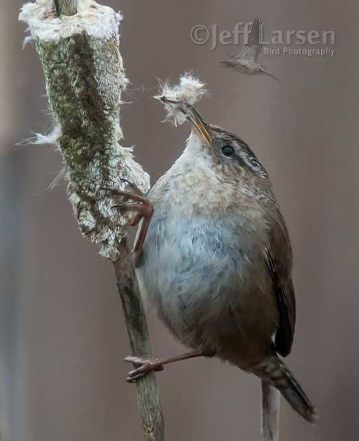 A Marsh Wren Dismantles A Cattail For Nesting Material In The Theler Wetlands Near Hood Canal In Western Washington Sta Bird Photo Animals Friends Cute Animals