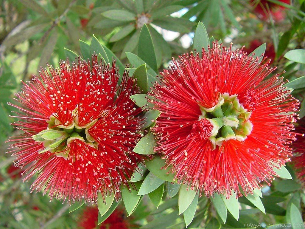 Red exotic hawaiian flower tropical flowers pinterest hawaiian red exotic hawaiian flower izmirmasajfo