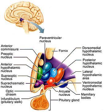 Nuclei of the hypothalamus | Nervous system anatomy, Brain ...