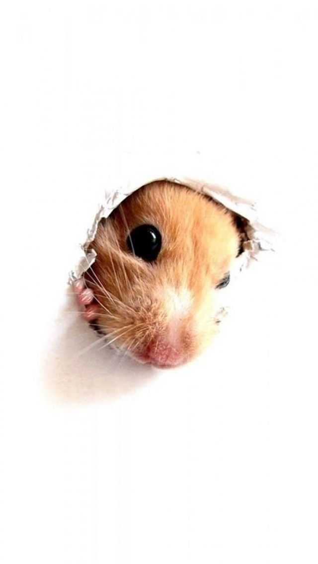 Animal Wallpaper For Iphone And Android Facebook Cover Hamster Wallpaper Cover Photos