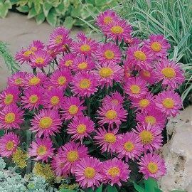 Alpine Aster Aster Alpinus Happy End Perennial Features Profuse Flowers Attract Butterflies Excellent For Rock And Alpin Plants Aster Flower Garden Club