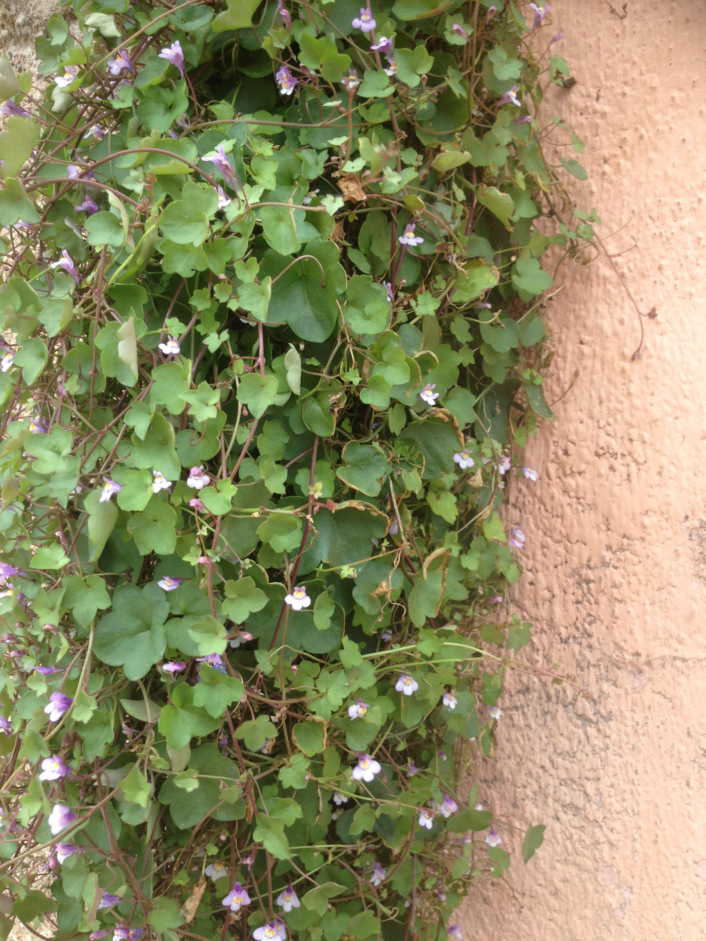 Barba Di Giove Sempreverde le migliori 63 immagini su flora spontanea della sardegna