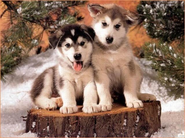 Cute Siberian Husky Dog Breed Info Cute Animals Cute Puppies